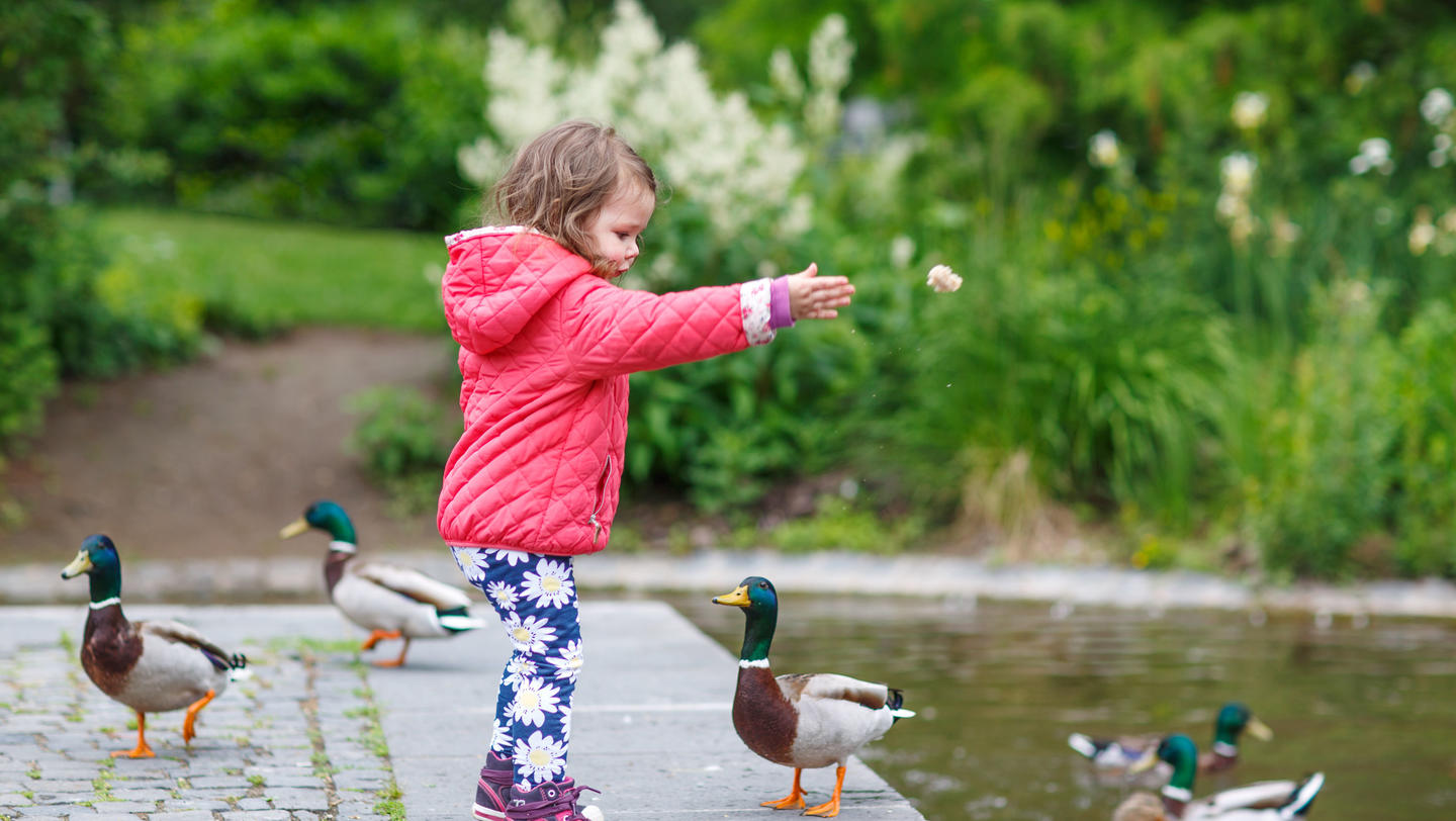 Adorable little girl feeding ducks at summer